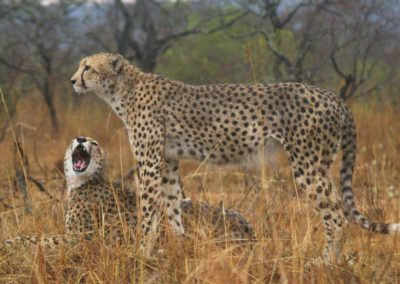 Cheetah Growl - Larry pic